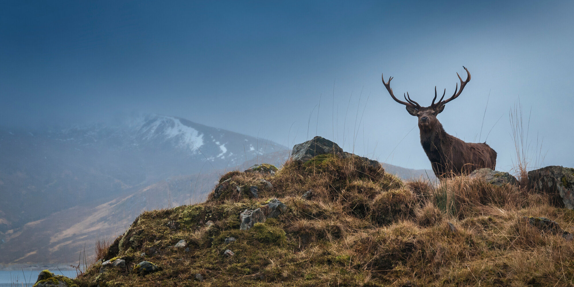 SVM highland stag standing on hill
